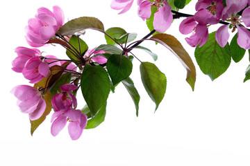 Kirschblüte im Frühling isoliert