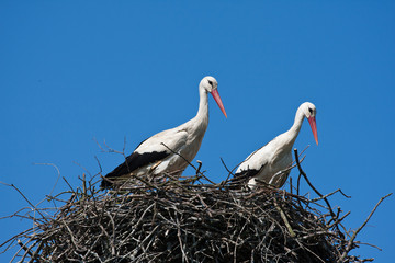Couple of storks in nest