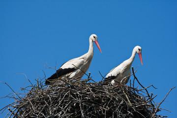 Couple of storks in nest