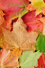 View From Above of a Colorful Maple Leaves
