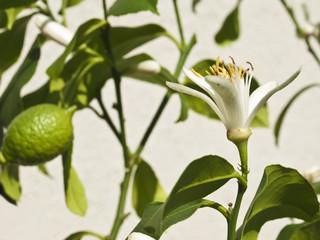 Zitronenblüte und Frucht