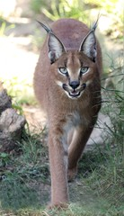 Caracal or Lynx Portrait