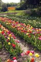 Tulpen für Selbstpflücker