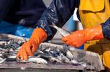 sardine pêcheur ciré criée tri marin port poisson pêcher poster