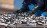 sardine poisson pêche marin pêcherie trier bretagne marin mer po poster