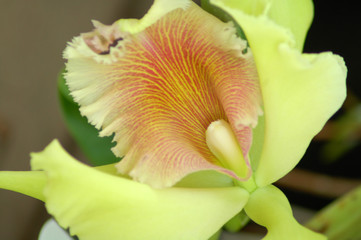green Orchid Flower