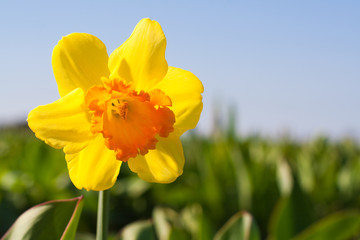 Yellow flower in a field - Narcissus