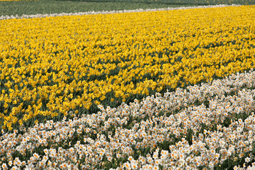 Field of white and yellow flowers