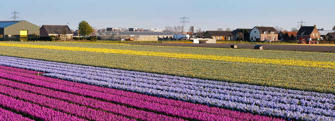 Field of flowers. Panorama