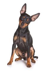 Pinscher puppy on white background