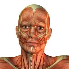 Gesichtsmuskel Mann Vorderansicht