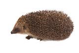 Európsky ježko