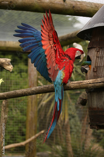 Green Wing Macaw with Wings Out