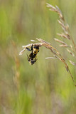 Queen Bee & Drone Mating in Grass Field (genus Bombus) poster