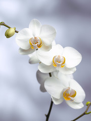 three orchid