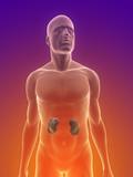 männlicher Körper mit Tumor in der Niere poster