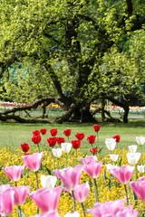 Baum mit Tulpen00