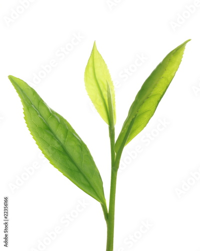Camellia sinensis 'Benifuki'