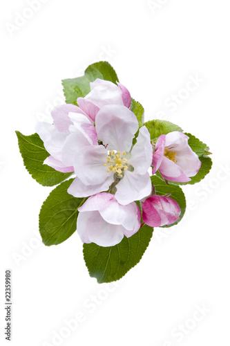 Bachblüten, Holzapfel