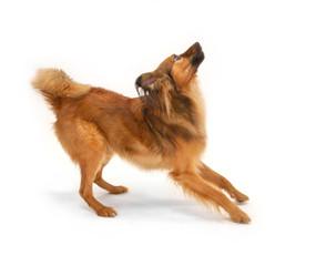 Jumping foxy dog.
