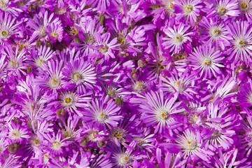 Plant Delosperma Purple Ice Plant (  Delosperma cooperi)