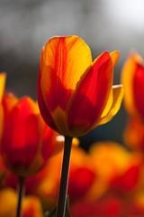 Yellowred tulips