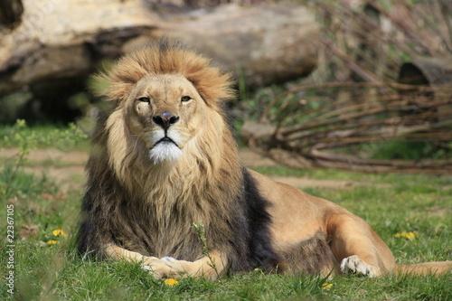 Leinwanddruck Bild löwe