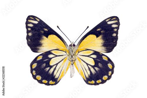 Poster Butterfly - Caper White, Belenois java