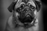 Ugly dog poster