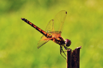 Dragonfly on green screen