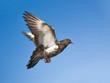 dove flying in blue sky