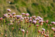 Armeria Maritima, Sea Pink or Thrift , Wild pink flowers