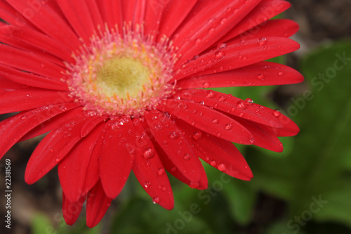 Dew Drops on a Red Gerbera Daisy