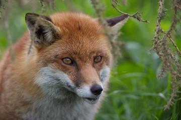 Red Fox Hiding