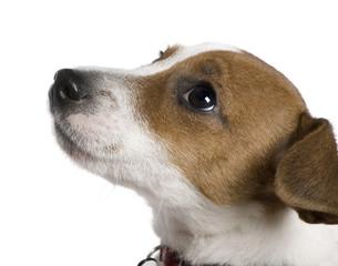 Jack Russell Terrier, 12 weeks old, looking up