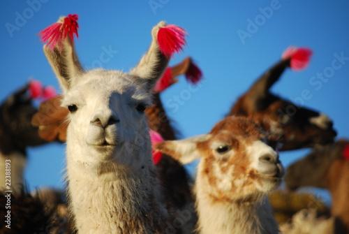 Foto op Canvas Lama Lamas