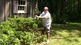 home owner trim  hedges garden with electric hedge trimmer poster