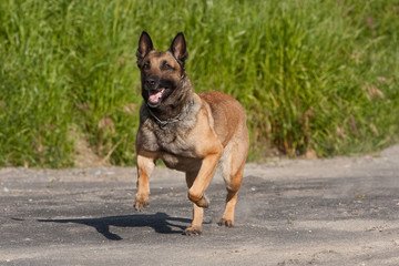 Malinois Playing