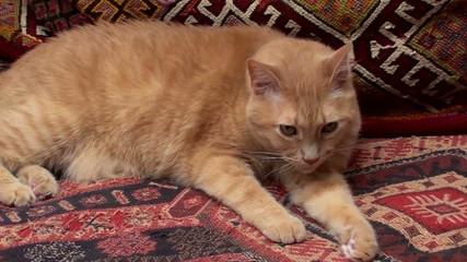Cat on Persian rug - HD