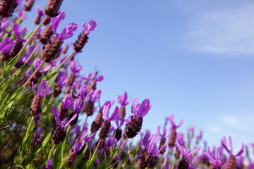 Field of lavender flowers against blue sky