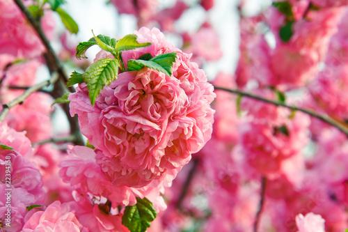 梦幻桃花春天背景鲜花边框蜜蜂