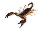 Insekt - Skorpion freigestellt