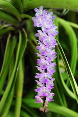 Purple Rhynchostylis gigantea