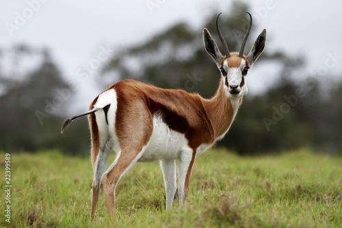 Papiers peints Antilope Springbuck Antelope