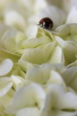 Marienkäfer auf weisem Flieder