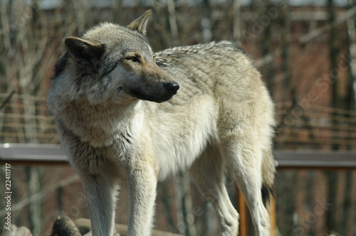 One gray wolf standing and looking back