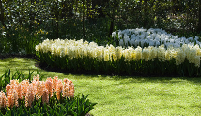 Colorful hyacinths in pastel colors