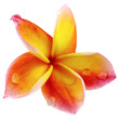 fleur sacrée de frangipanier, fond blanc