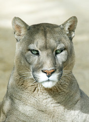 Closeup of a Puma