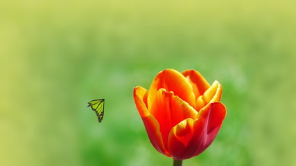 Butterfly Tulip garden beautiful flower nature